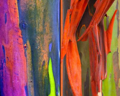 Colorful Trees – Rainbow Eucalyptus