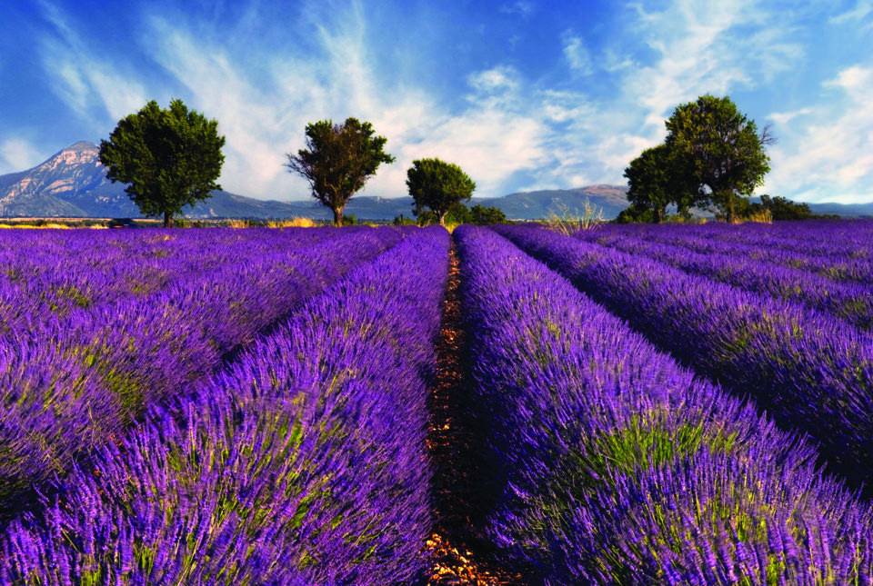 Lavender Fields in Provence, France : pics