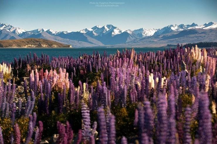 Blooming Lupins on the Coast of Lake Tekapo in New Zealand