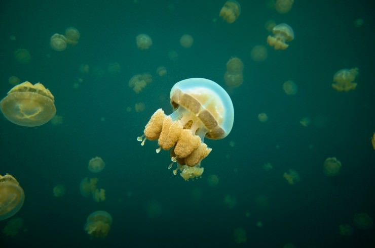 A Unique Diving Experience in the Jellyfish Lake, Palau