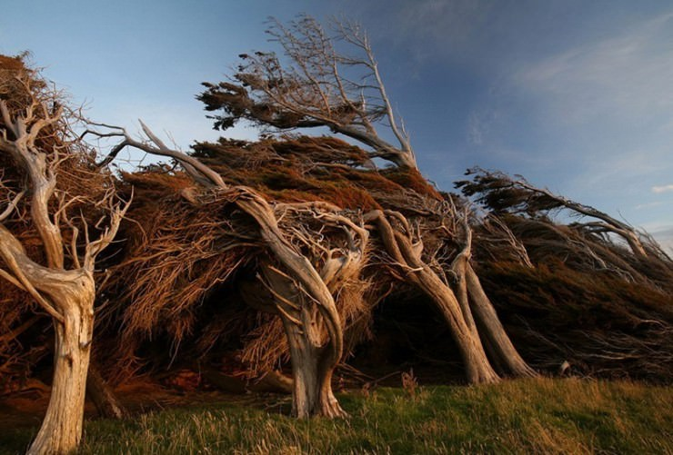 Windswept Trees in the Brute Slope Point, New Zealand