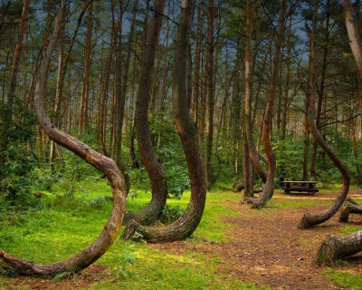 Mysterious Crooked Forest in West Pomerania, Poland