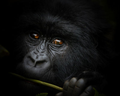 A Trip of a Lifetime – Mountain Gorilla Trekking in Congo