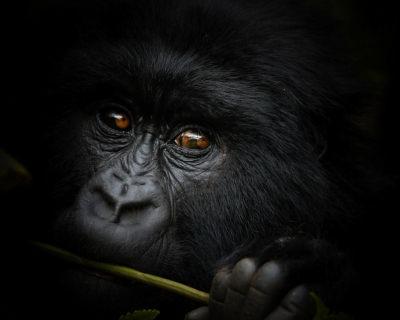 A Trip of a Lifetime – Mountain Gorilla Trekking in Congo