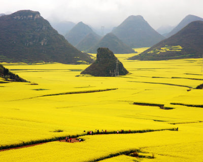 Golden Canola Fields in Luoping, China