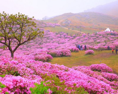 A Floral Feast at Mt. Hwangmaesan in South Korea
