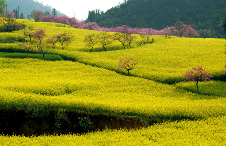 Surrounded By Canoloa Feilds Quotes: Top 10 Colorful And Fragrant Flowery Fields