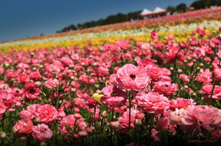 Top 10 Flowery Fields-Carlsbad-Photo by Jodi Newell