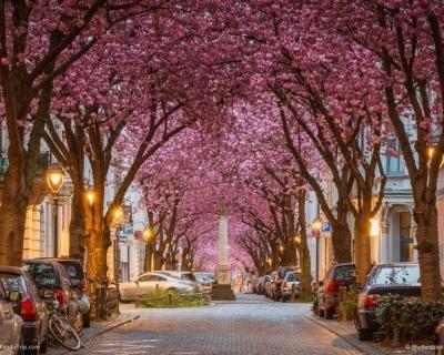 Vivid Cherry Blossom Avenue in Bonn, Germany