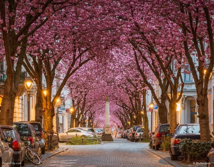 Vivid Cherry Blossom Avenue in Bonn, Germany - most beautiful trees