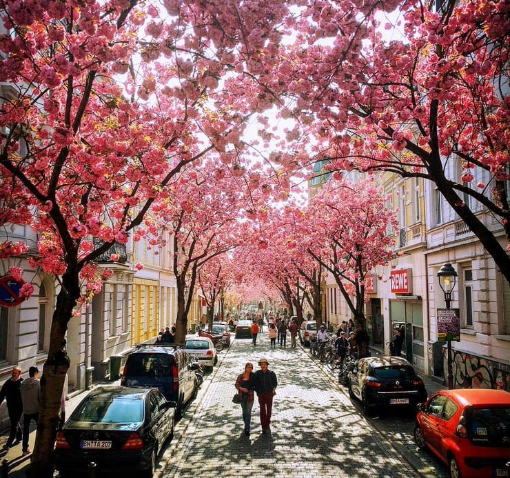 Vivid Cherry Blossom Avenue In Bonn Germany Places To