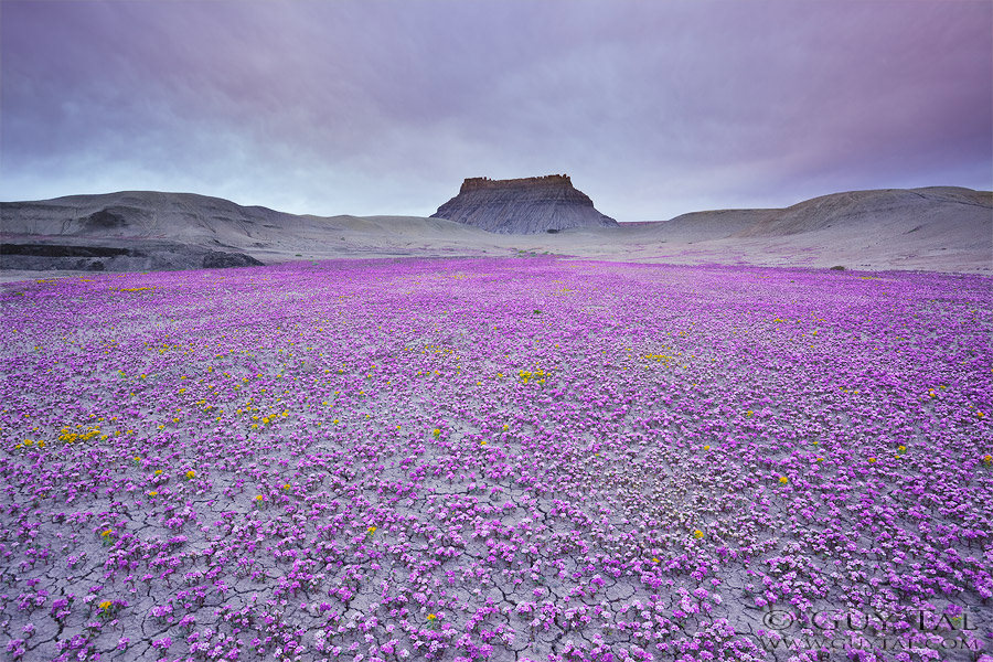A Rare Phenomenon of Blooming Flowers in the Badlands of Utah, USA