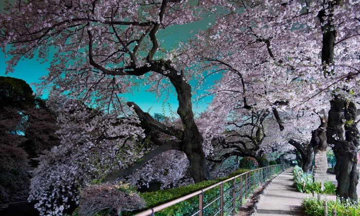 Top 10 Blossoming-Chidorigafuchi