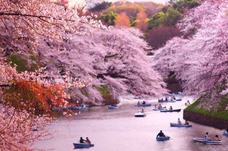 Top 10 Blossoming-Chidorigafuchi-Photo by Shane Hayes