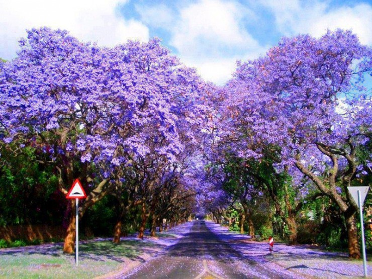 Top 10 Blossoming-Pretoria3