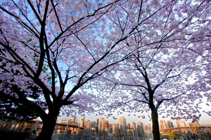 Top 10 Blossoming-Vancouver2
