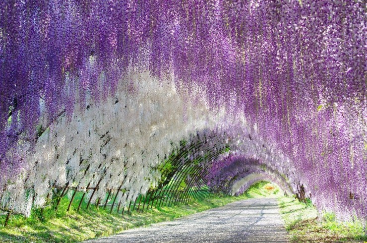 Top 10 Blossoming-Wisteria