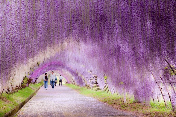 Top 10 Blossoming-Wisteria2