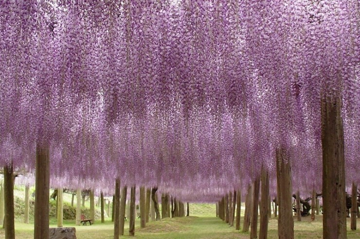Top 10 Blossoming-Wisteria3