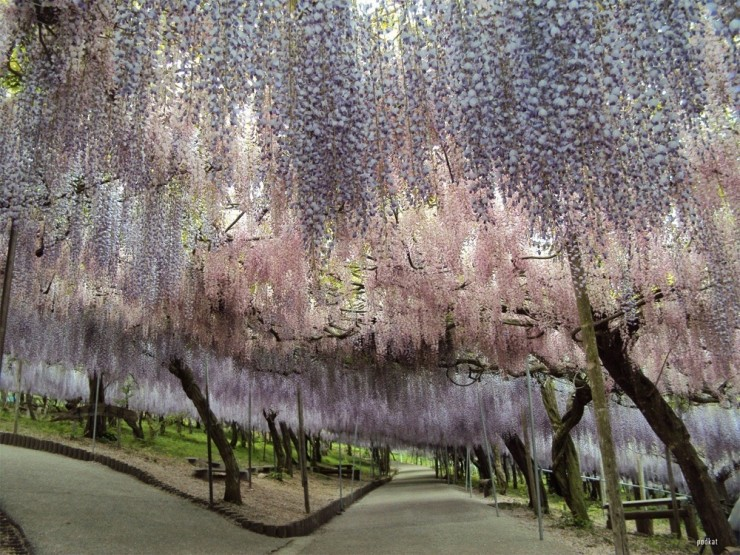Top 10 Blossoming-Wisteria4