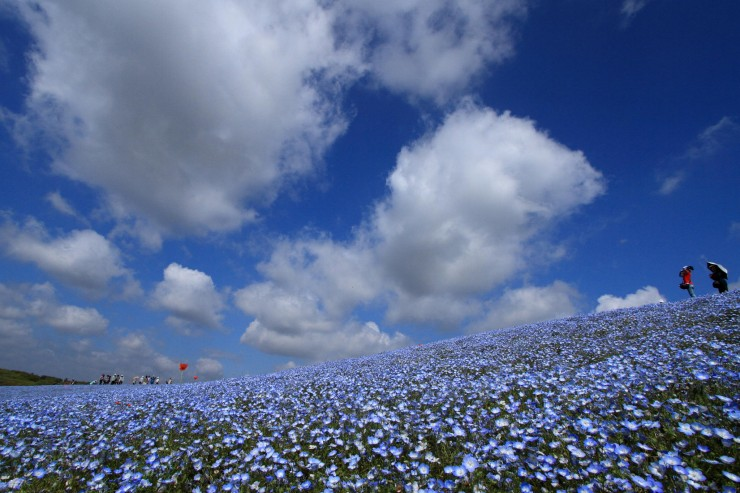 Hitachi Seaside Park by flyingpenguin 2