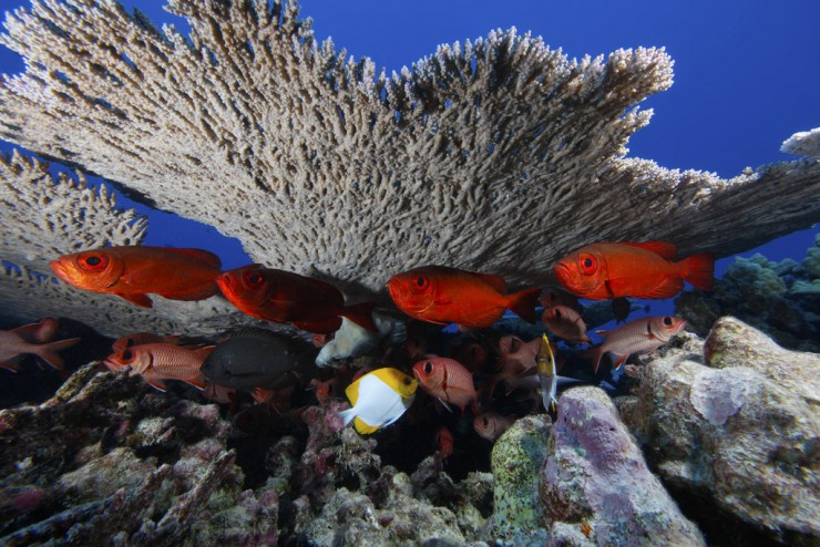 Photographer - Greg McFall/ONMS Description - Bigeye soldierfish underneath coral at Rapture Reef, French Frigate Shoals, in the Papahanaumokuakea Marine National Monument WOD submission