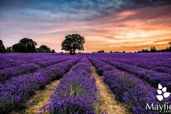 mayfield Photo from Mayfield Lavender