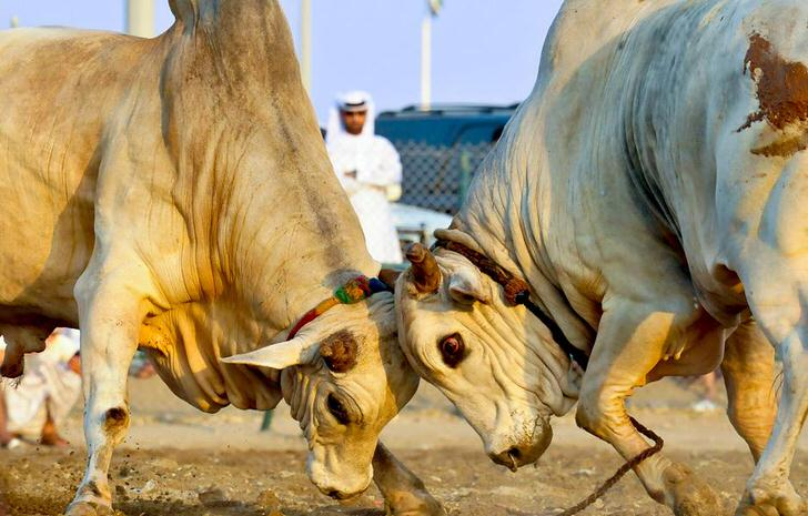 Bull Pushing in Fujairah