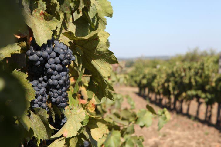 Vineyard in Eger, Hungary