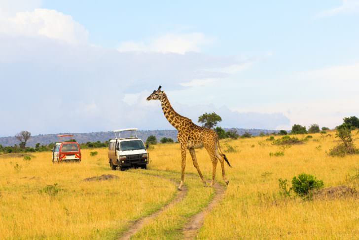 Giraffe crossing the road in Masai Mara National Reserve, Tanzania