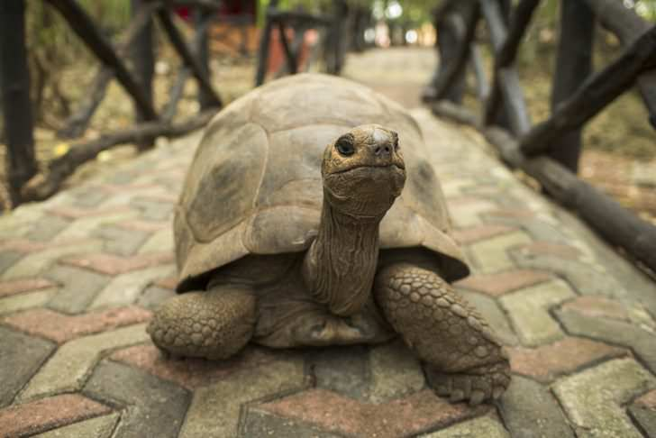 An Aldabra giant tortoise looks out from its shell on Prison Island off Zanzibar, Tanzania