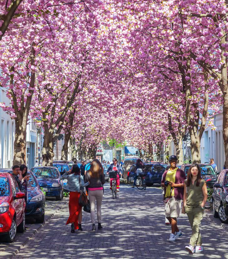 Cherry Blossom Avenue, Bonn, Germany