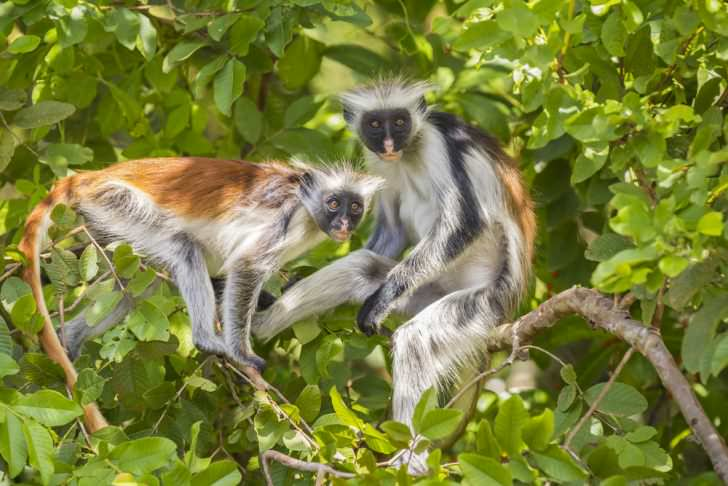 Two red Colobuse Monkey in a rainforest of Jozani Chwaka Bay National Park, Zanzibar, Tanzania