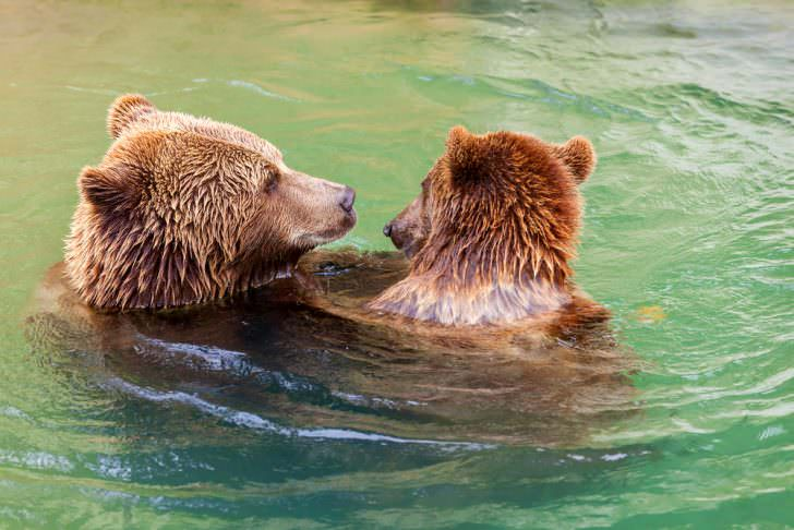 Friendly brown bears playing in the water, Bern