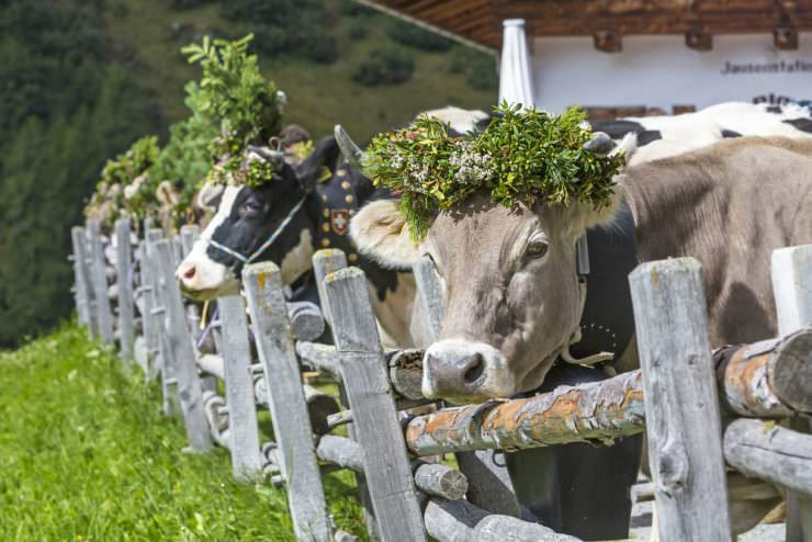 Cows with traditional decoration during the Almabtrieb celebration 1