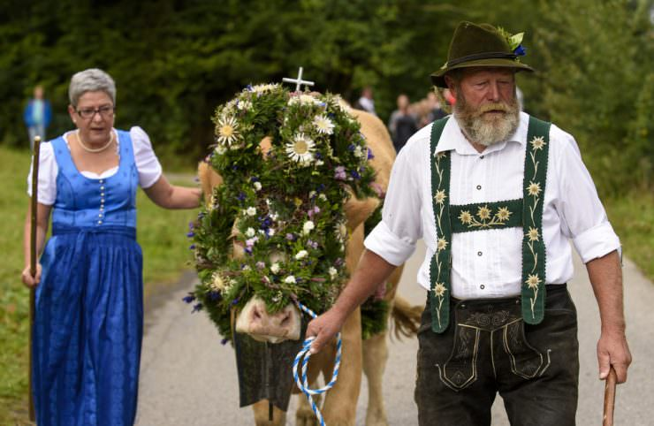 Cows with traditional decoration during the Almabtrieb celebration