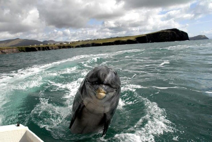 Dolphin-watching, Dingle