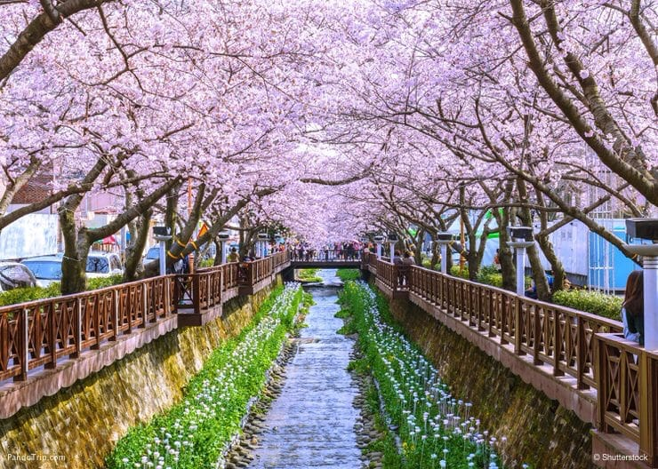 Cherry blossom at Yeojwacheon Stream, Jinhae sakura festival, South Korea