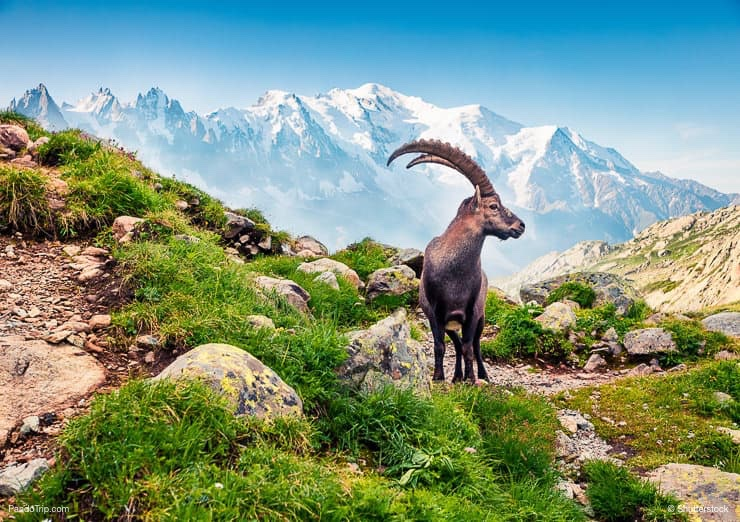 Alpine Ibex on the Monte Bianco background