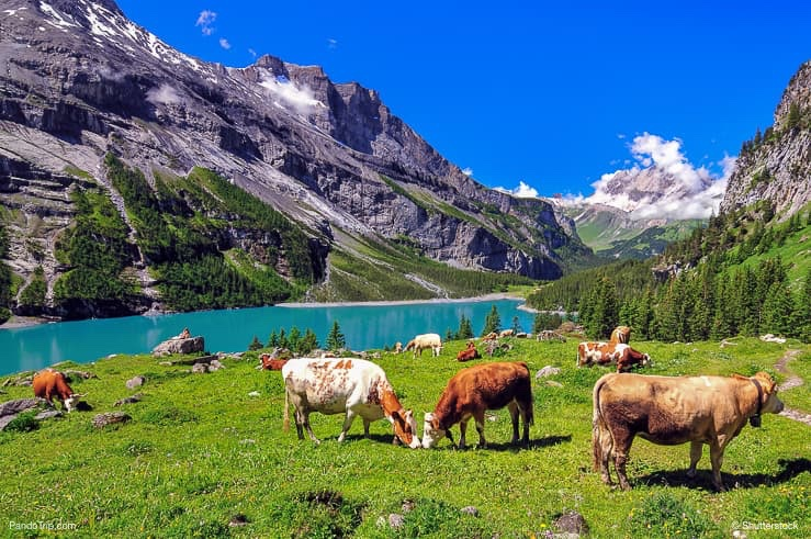 Cows near Oeschinen Lake in Switzerland