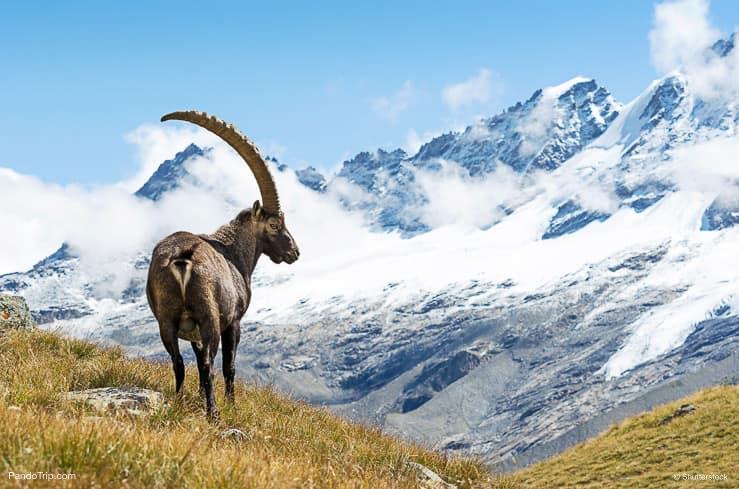 Alpine Ibex, Gran Paradiso National Park, Italy