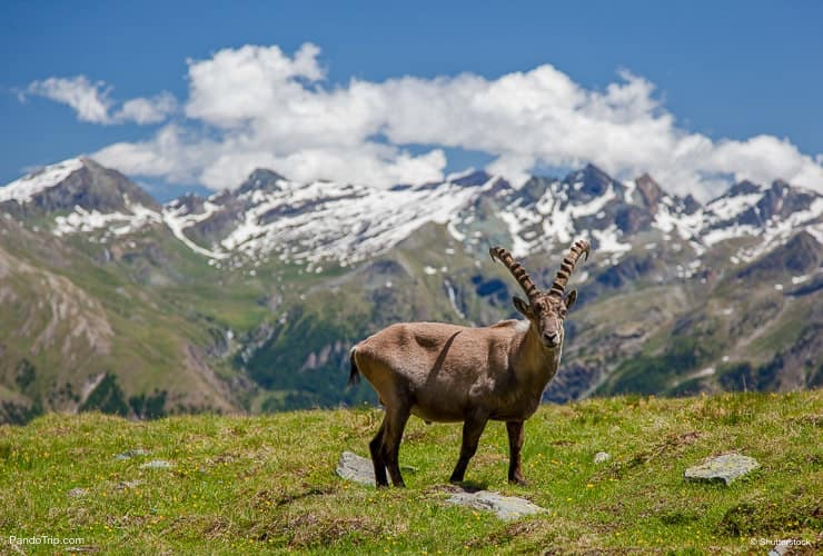 Goat in Gran Paradiso National Park, Italy