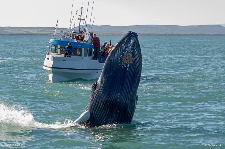 Whale near Husavik City in Iceland