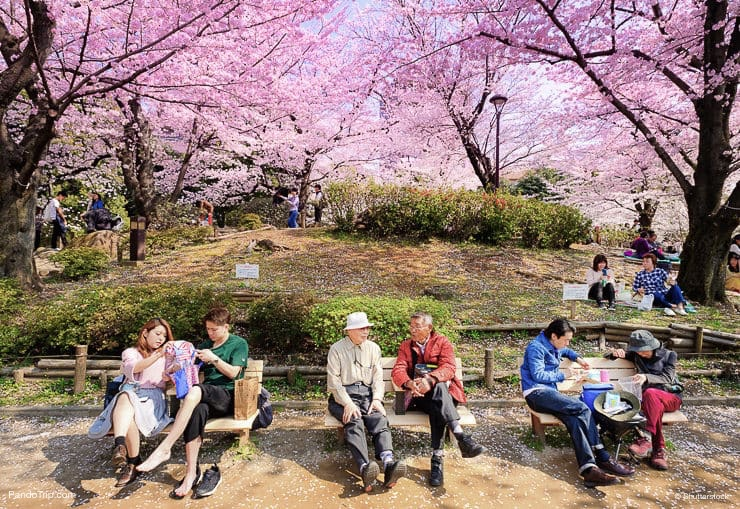 People enjoying cherry blossom at Sumida Park