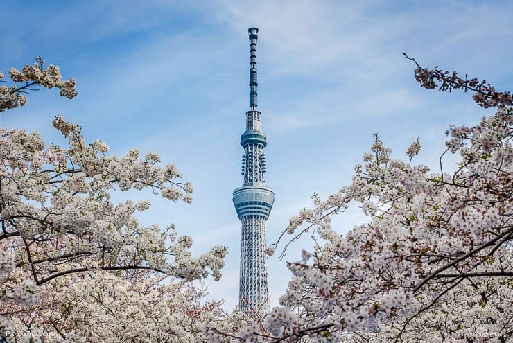 Tokyo Skytree with cherry blossoms in full bloom in Tokyo, Japan
