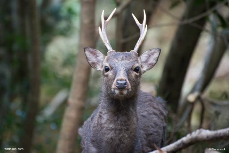 Yaku shika, japanese deer in Yakushima Island, Japan