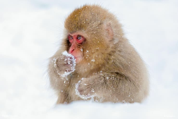 Baby Snow Monkey in Jigokudani monkey park, Japan