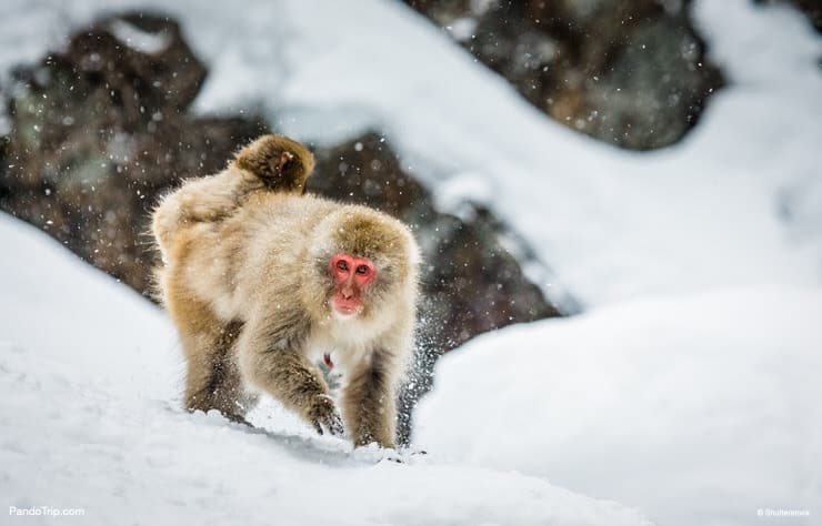 Japanese Macaque on the snow. Jigokudani monkey park, Japan