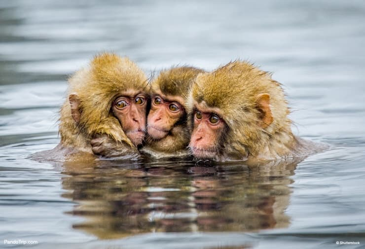 Snow Monkeys in hot springs of Jigokudani monkey park, Japan