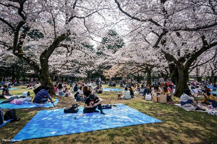 Yoyogi Park in Shibuya during Cherry Blossom season